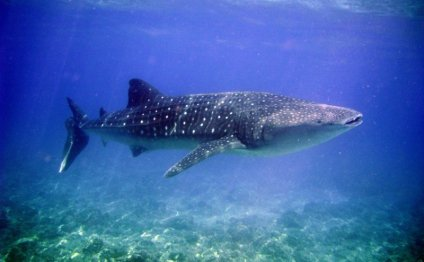 Whale Shark Tours with Hatchet