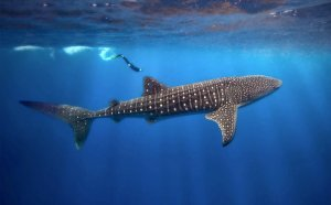 Whale Sharks Belize